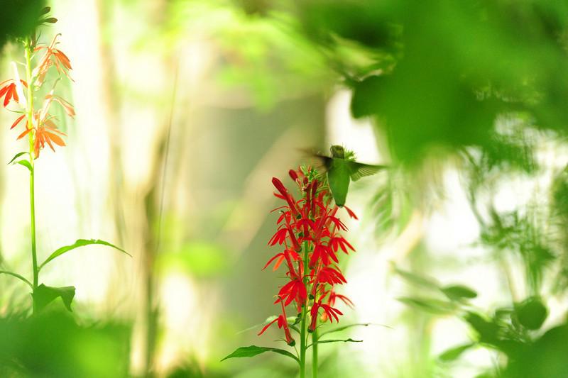 Canadice 35 hummingbird visits DSC_6970