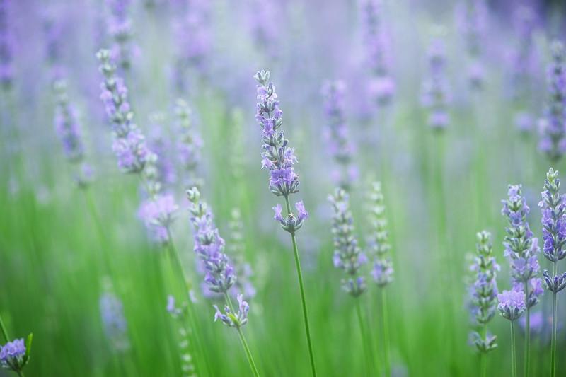 Lavender Crest 070813 15 dreamy DSC_9664