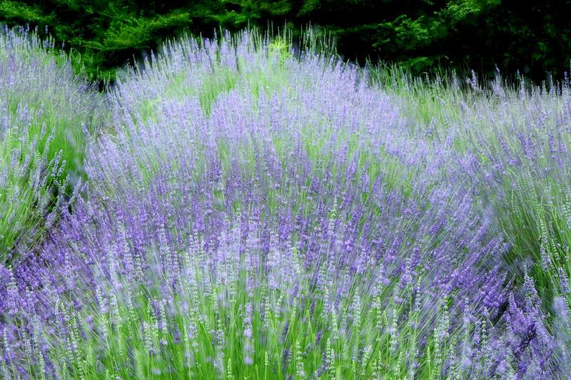 Lavender Crest 070813 18 DSC_9669