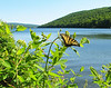 Butterfly, Canadice Lake NY.