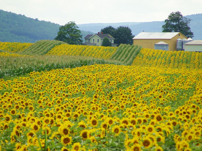 Vine Valley sunflowers 2 DSC00976