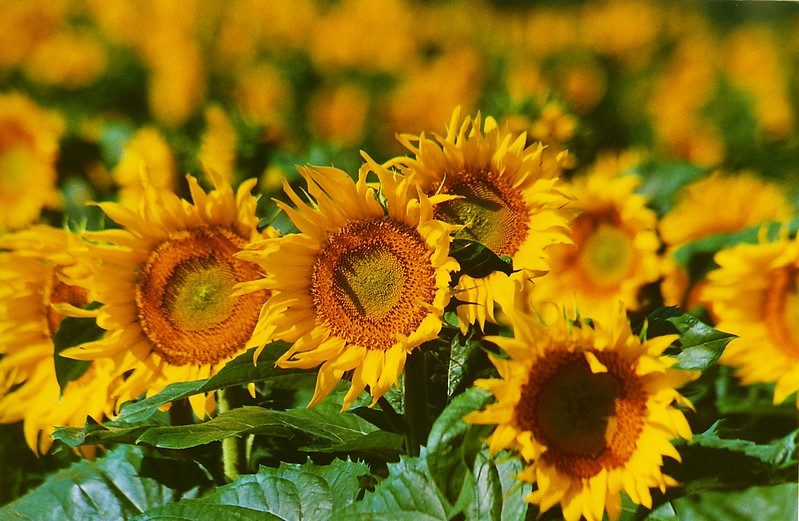 sunflowers pittsford 2001