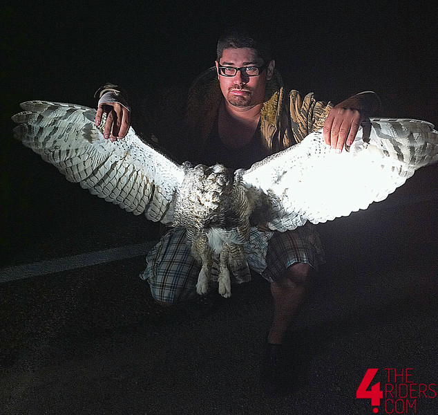 great horned owl wingspan dead