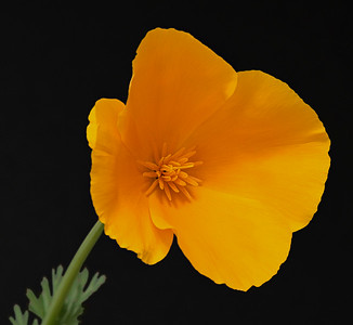 A California Poppy up close and personal.