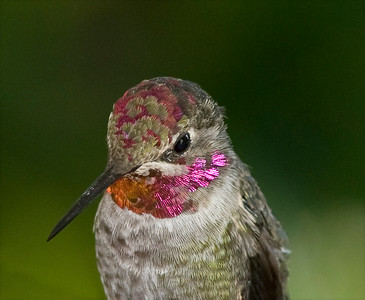 I am struck by the fascinating pattern of head feathers on this Anna's Hummingbird