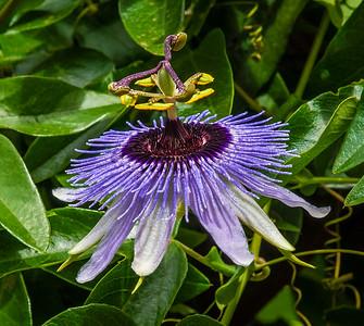 Blue Pasiflora