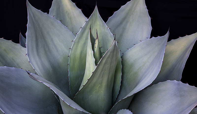 A Giant Agave plant. This guy is huge, maybe three feet across.