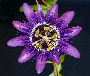 Another variety of passiflora blossom