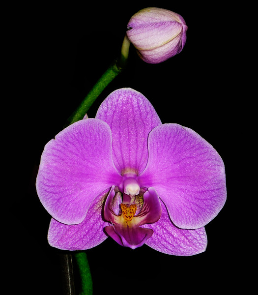 Another one of our orchids along with a bud.