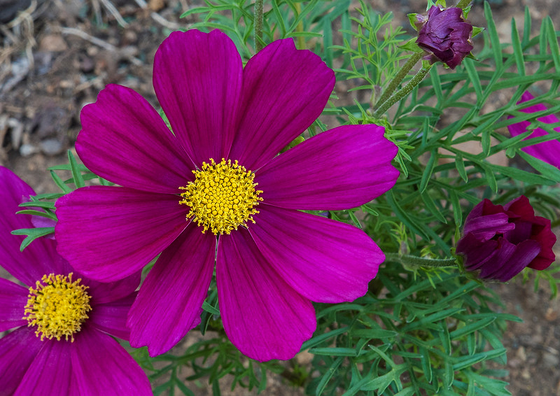 Our beautiful cosmos in various stages of blooming