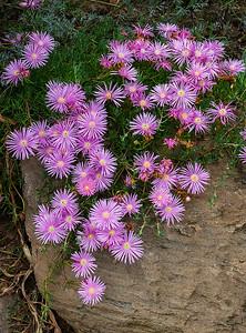 Delosperma Cooperi - Ice Plant
