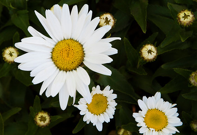 Our Shasta Daisy in various stages of bloom