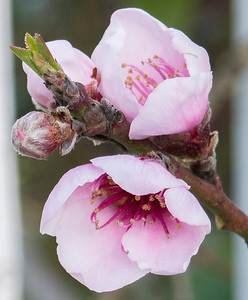 Multiple stages of blossoms on our nectarine tree.