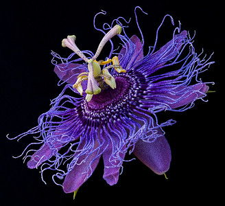 This Passiflora Inspiration is a recent addition that we are training to climb towards our patio cover