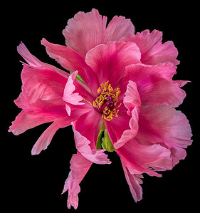 And now the Peony in its full splendor.