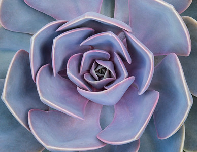 The echeveria has wonderful symmetry. It makes me think it would resemble an M. C. Escher drawing of a plant. A little peek into infinity?