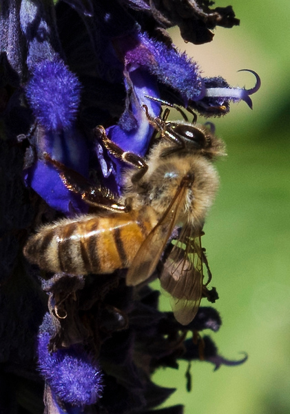 This blue sage plant is an absolute magnet for honeybees