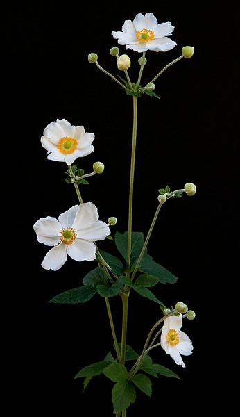 Our Japanese Thimbleweed is a reliable annual; extremely delicate and beautiful