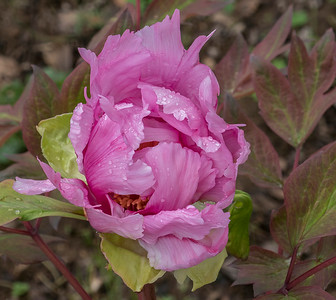 The Peony about half way open now.