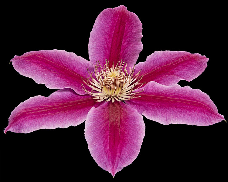 A blossom from our clematis vine.