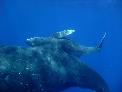 humpback whale calf (ザトクジラの子供)