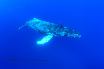 humpback whale and dolphin(ザトクジラとイルカ)