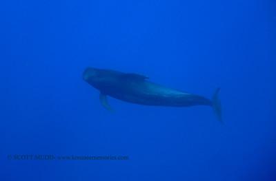 コビレゴンドウ (pilot whale)