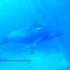 humpback wheels (ザトウクジラ達)