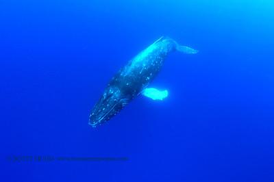humpback whale(ザトクジラ)