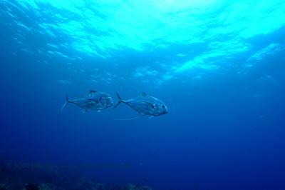 threadfin jacks (イトヒキアジ達)