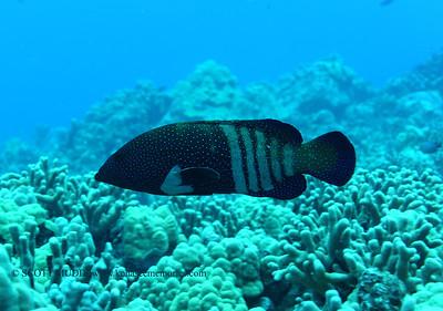 peacock grouper (アオノメハタ)