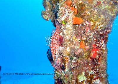 longnose hawkfish (クダゴンベ)