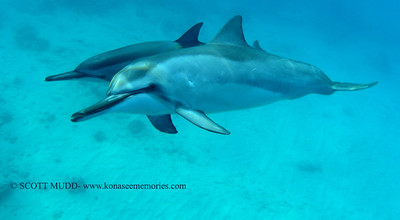 spinner dolphins (ハシナがイルカ)
