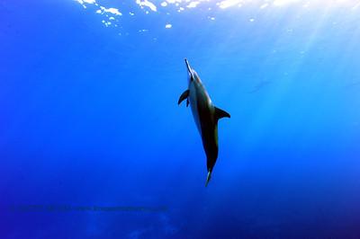 dolphin (イルカ)