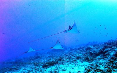 eagle rays (マダラトビエイ)
