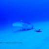 tiger shark (イタチザメ) tiger shark