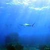 hammerhead shark (シュモクザメ)
