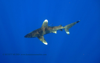 oceanic whitetip (ヨゴレザメ) tiger shark