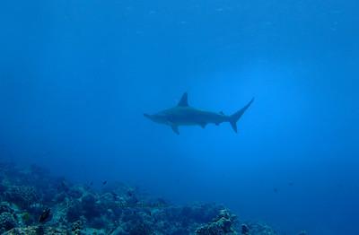 hammerhead shark (シュモクザメ) tiger shark