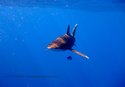 oceanic reef whitetip (ヨゴレザメ) tiger shark