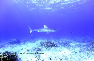 tiger shark naiabay2 020118thurs