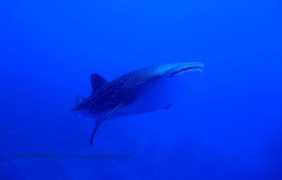 whaleshark (ジンベサメ) tiger shark