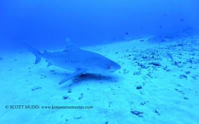 tiger shark naiabay5 012718sat