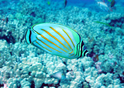ornate butterflyfish(ハナグロ)