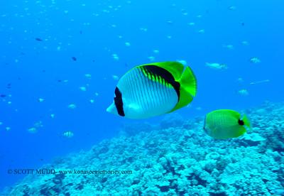 lined butterflyfish (ニセフライチョウチョウウオ)
