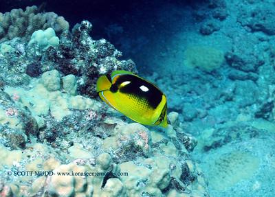 four spot butterfly fish (シテンチョウチョウウオ)