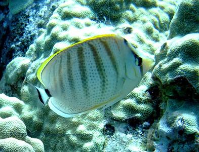 multiband butterflyfish (コガネチョウチョウウオ)