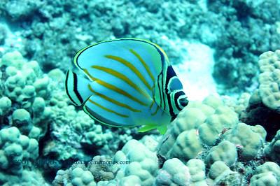 ornate butterflyfish (ハナグロチョウチョウウオ)