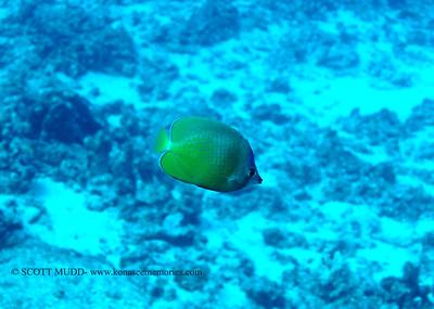 bluehead butterflyfish (ブルーヘッドバタフライ)
