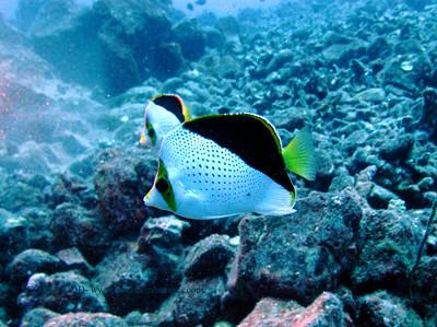 tinker's butterfly fish (チィンカーズバタフライ)